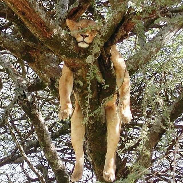 львица спит на дереве