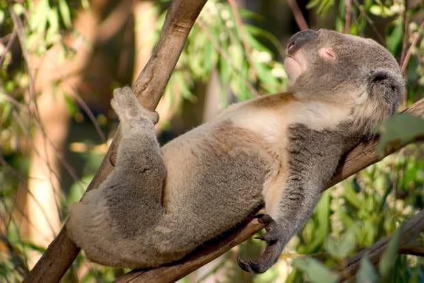 коала спит на спине