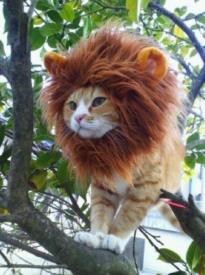 рыжий кот с гривой льва