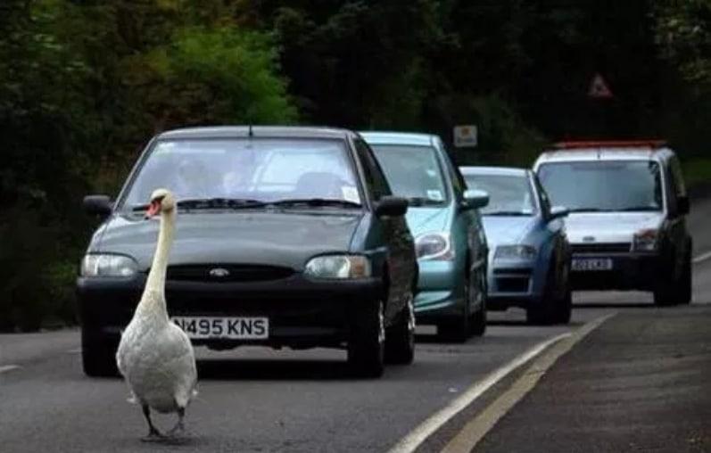 лебедь на дороге