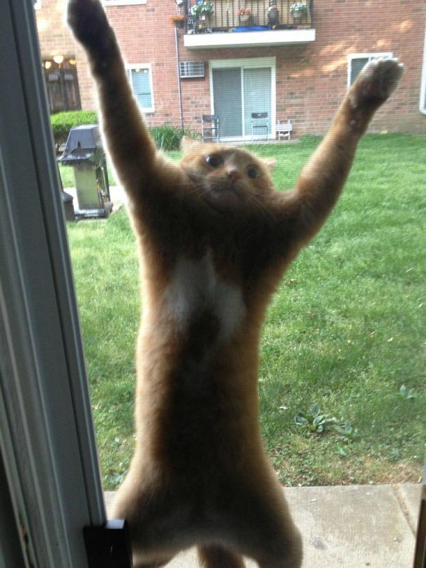 рыжий кот стоит на задних лапах за окном