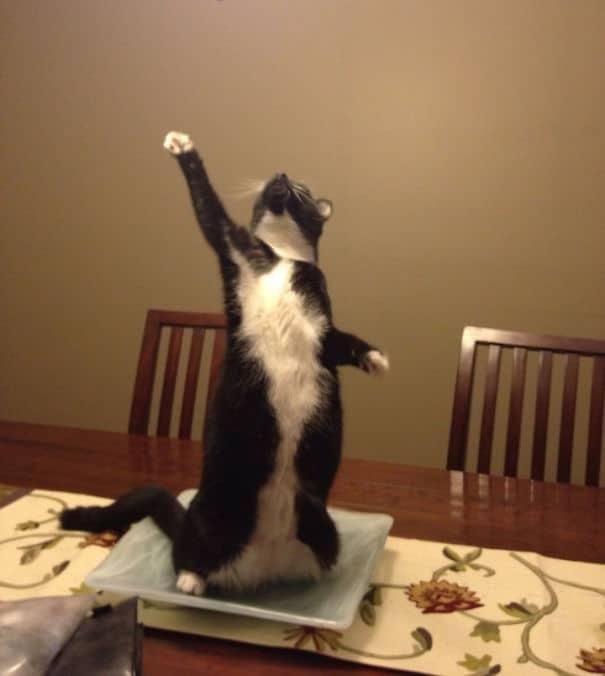 черно-белый кот стоит на задних лапах