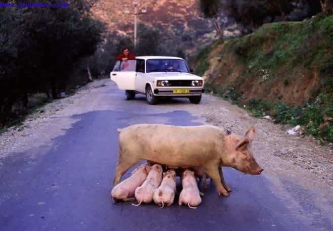 свинья с поросятами на дороге