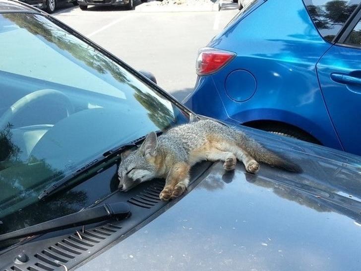 маленькая лисица
