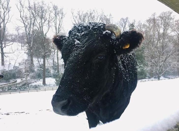 черная корова