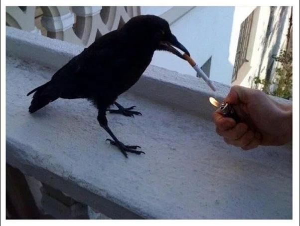 ворона с сигаретой