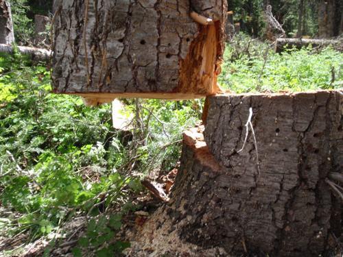 дерево спилили