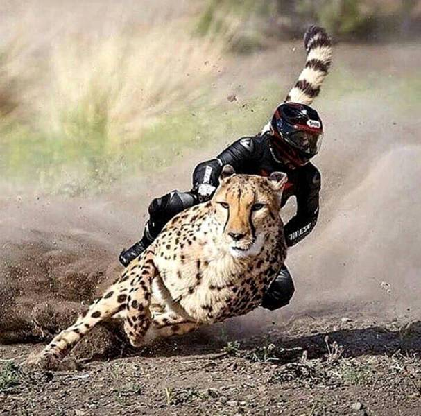 мотоциклист и гепард