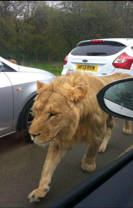 лев на дороге