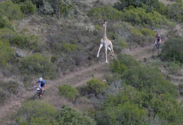 жираф бежит за велосипедистом