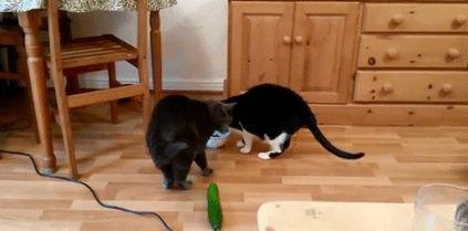 черные коты и огурец