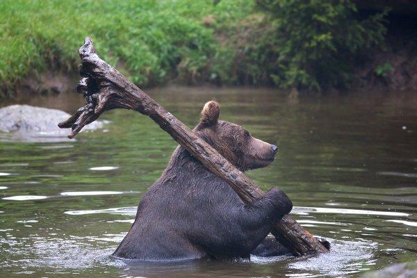 медведь в воде несет палку