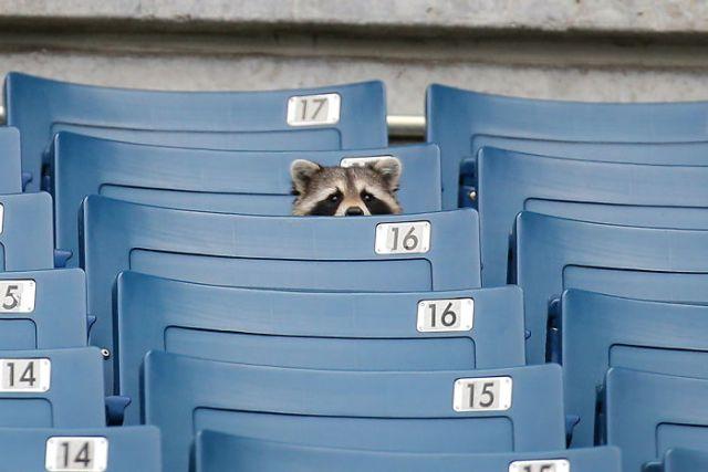енот сидит на стадионе