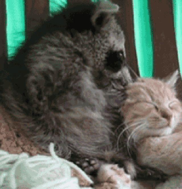 енот и рыжий кот