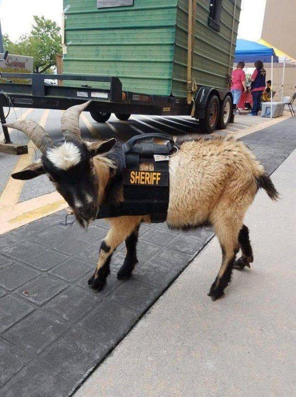 козел в униформе шерифа