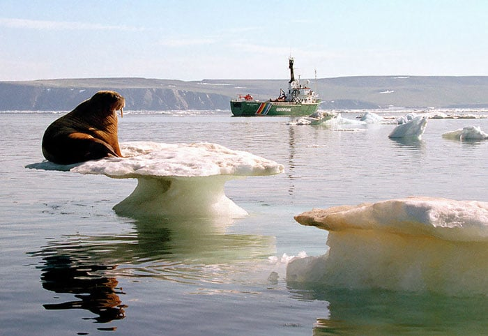 морж на льду