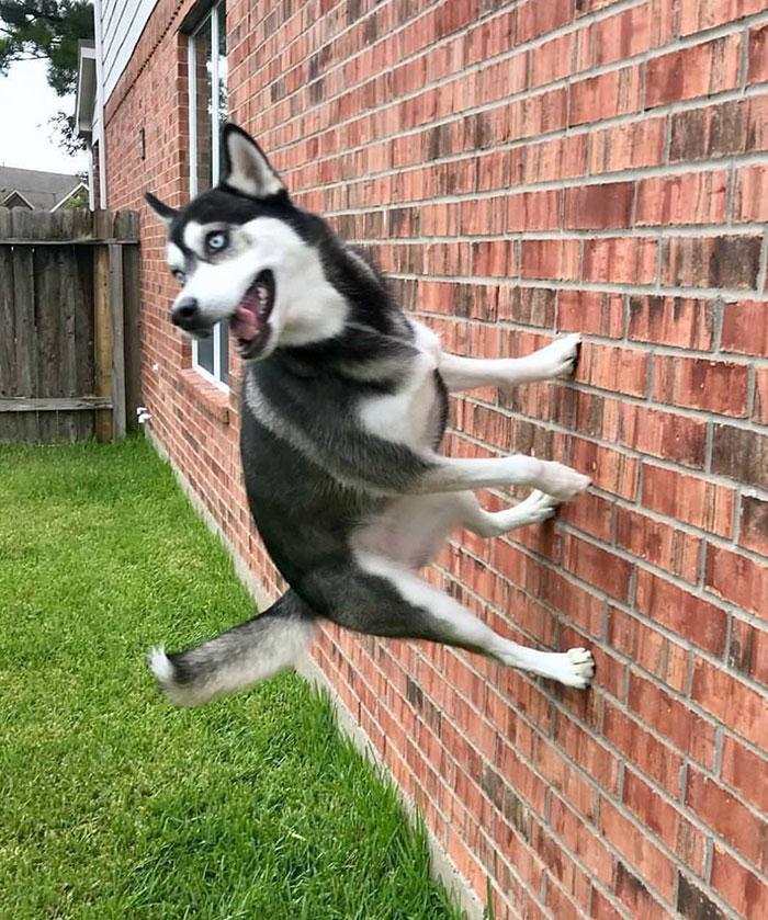 хаски на стене