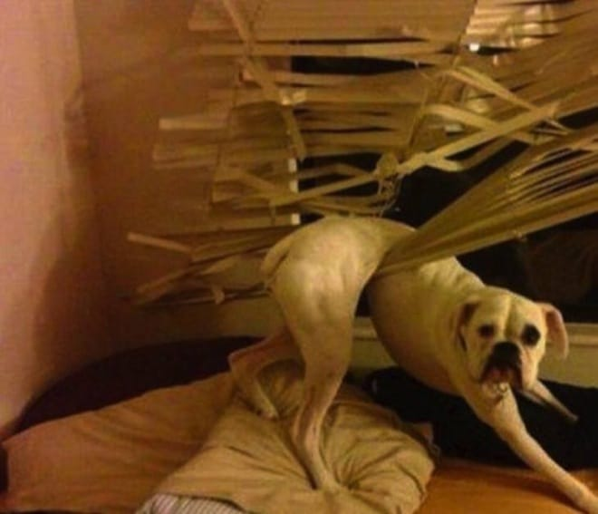 белая собака застряла в жалюзи