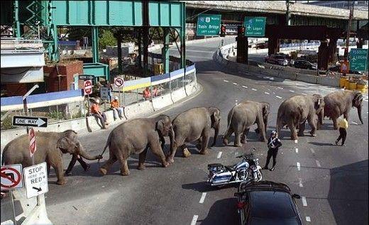 слоны переходят дорогу