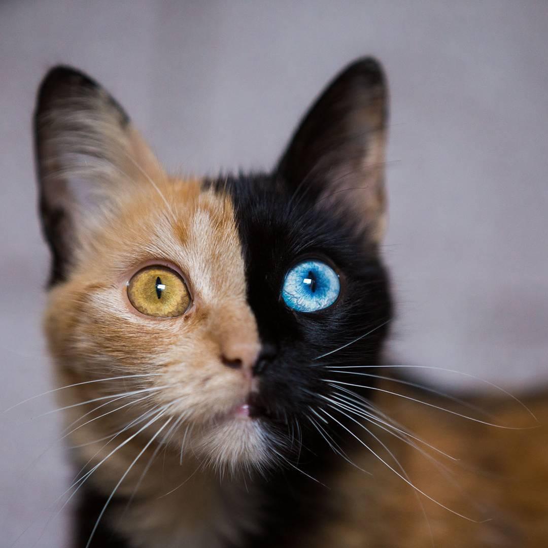 рыже-черная кошка