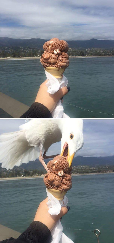 чайка ест мороженое