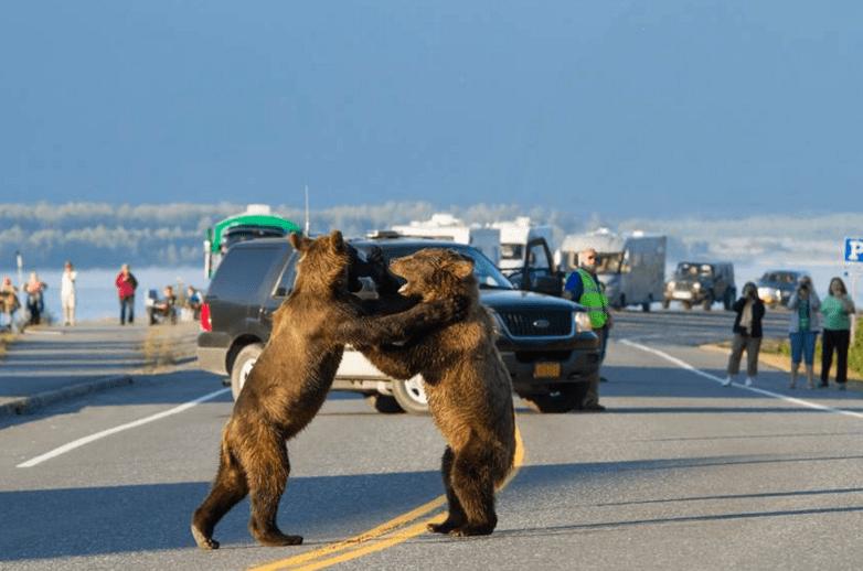 медведи дерутся на дороге