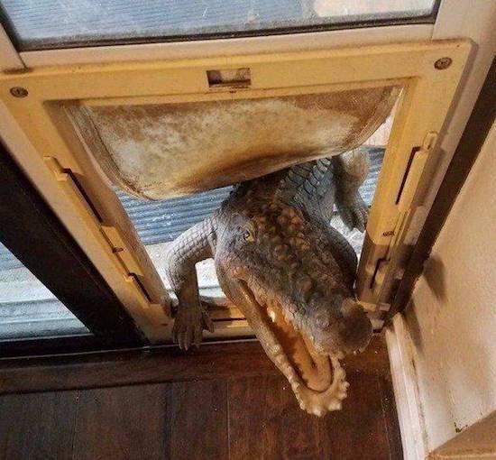 крокодил в дверях