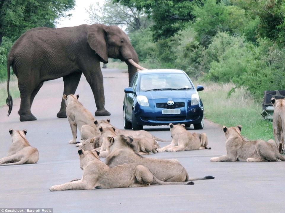 слон и львы на дороге