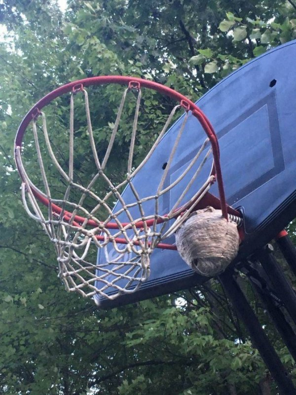 осиное гнездо на кольце для баскетбола