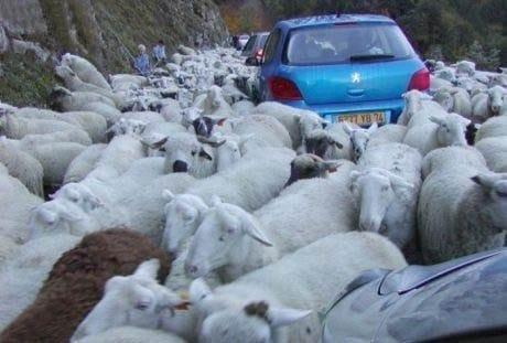 овцы блокировали движение на дороге