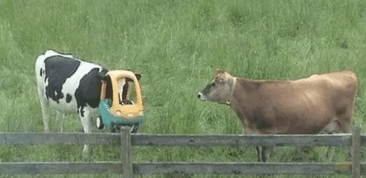 корова с игрушечной машиной на голове
