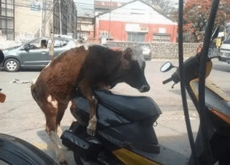 корова и мотороллер