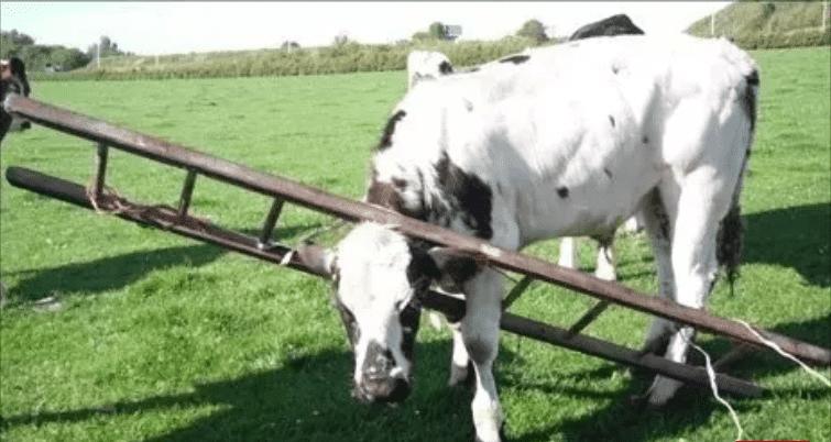 корова с лестницей на шее