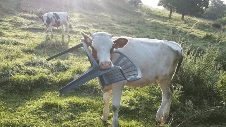 корова со стулом