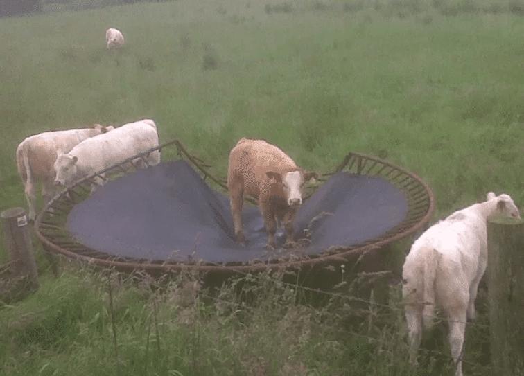 корова на трамплине