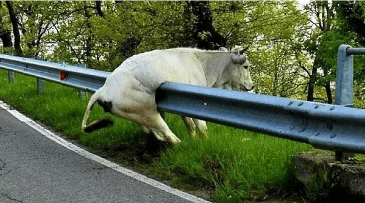 белая корова застряла у дороги