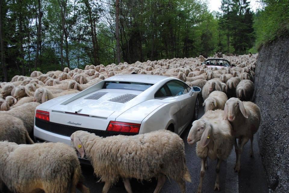 овцы окружили спорткар