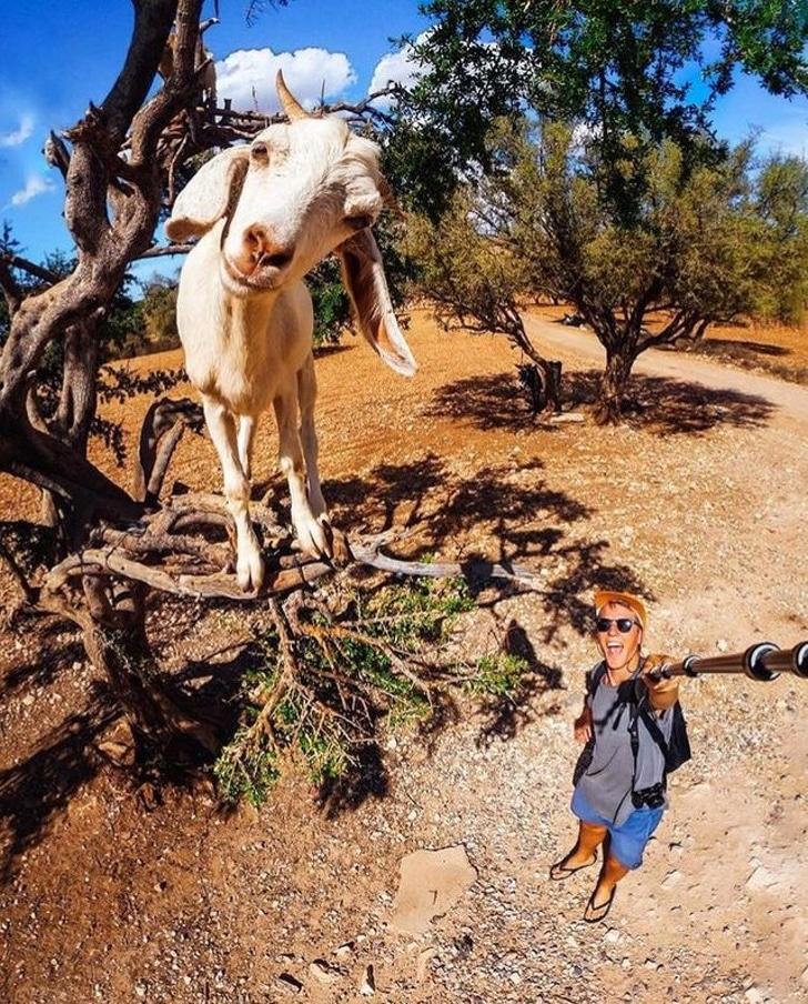 коза на дереве