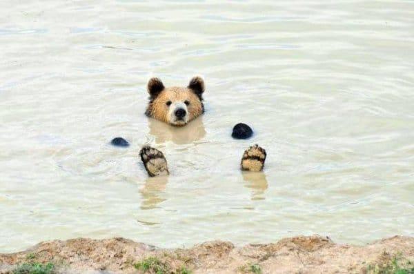 медведь в воде