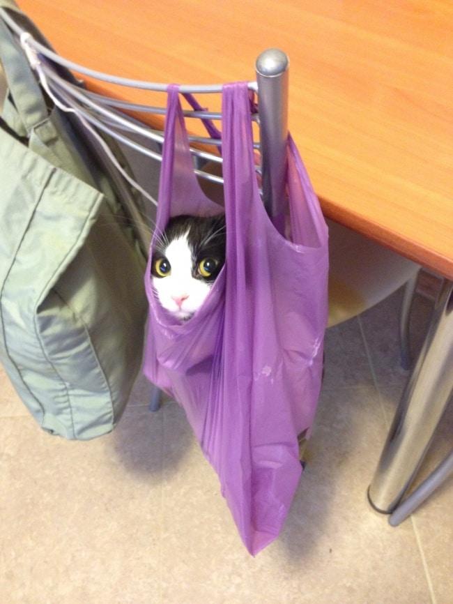 черно-белый кот в пакете