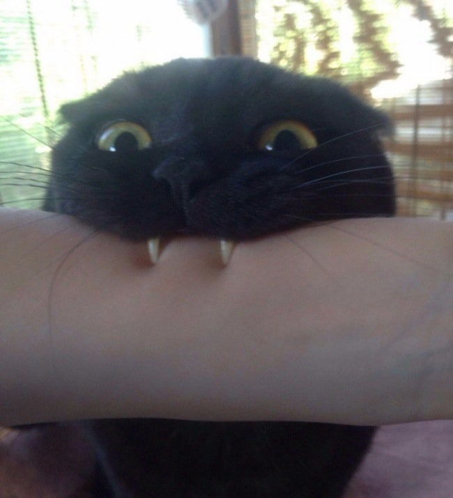 черный кот кусает руку