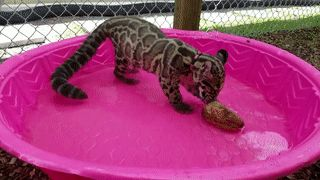 маленький леопард в бассейне