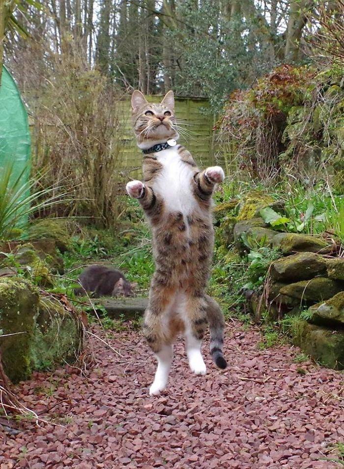 серая кошка рис 2