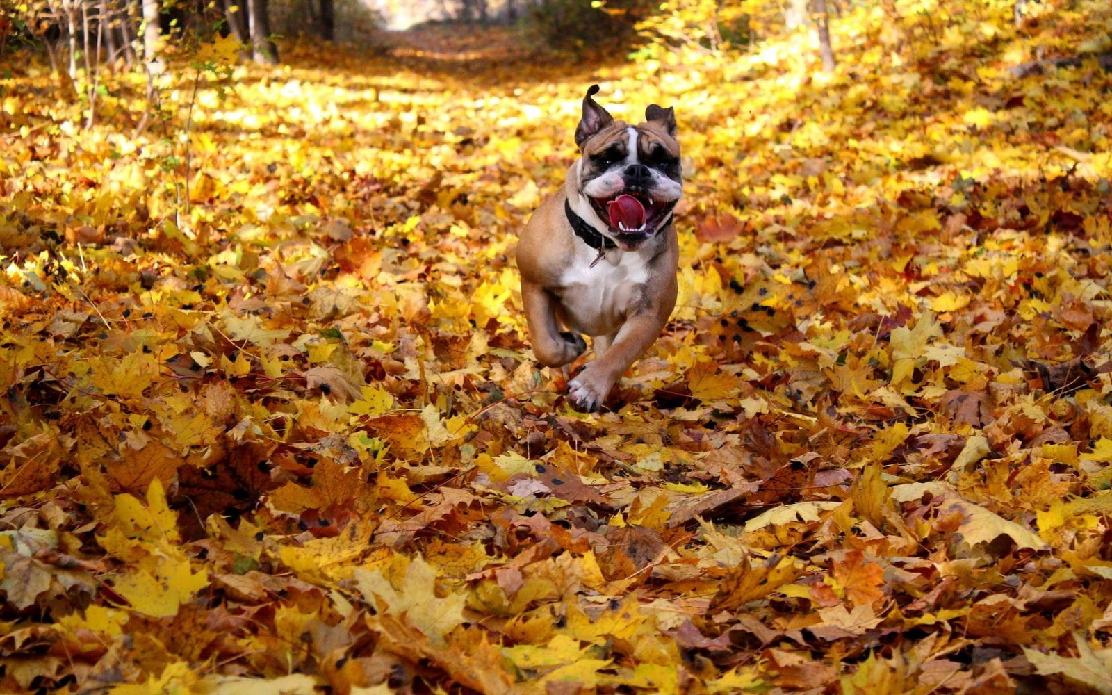 бульдог бежит по листьям