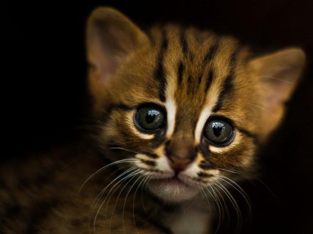 котенок дикой кошки