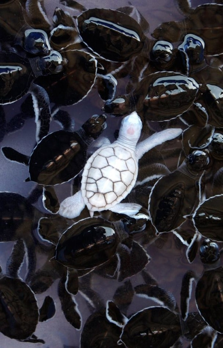 белая черепаха