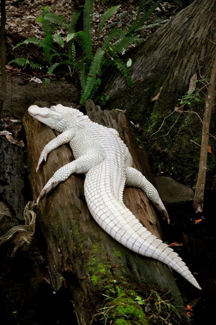 аллигатор альбинос