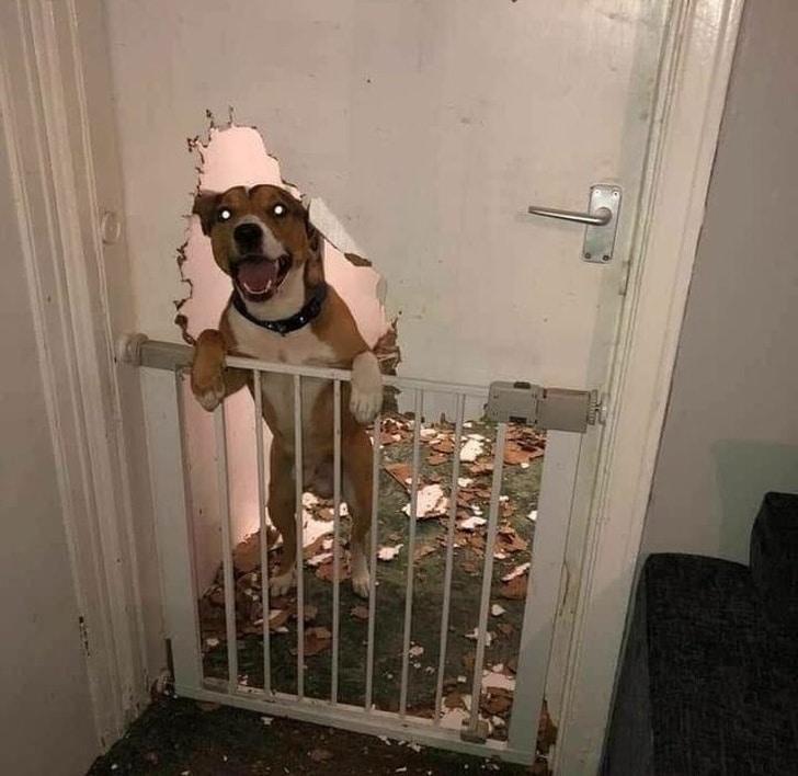 балованный пес