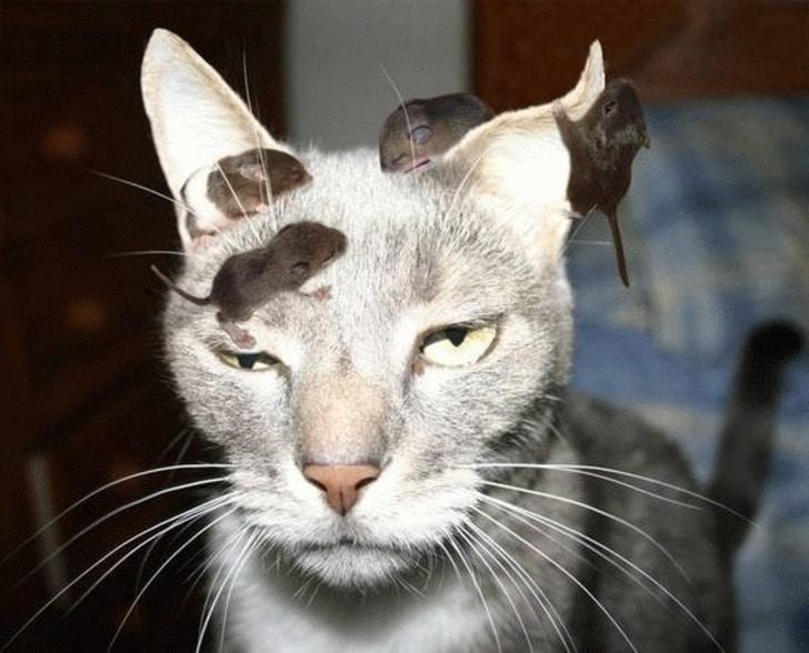 мыши у кота на голове