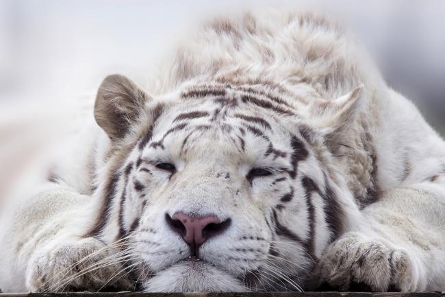 белый тигр спит